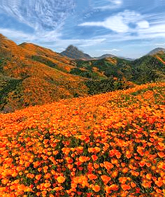 Poppies in Southern Spain.